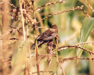 Semillero Inornado, Semillero Peruano Plain-colored Seedeater Catamenia inornata